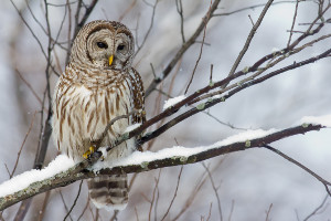 Image: Owl in winter